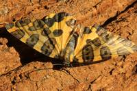 Butterfly With Black and Yellow Spots
