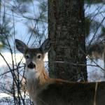 """""""Deer"""" by BrianMosher"""