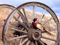 Ring Necked Pheasant Sits On A Wagon Wheel