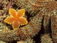 Orange Starfish In The Sea Coral