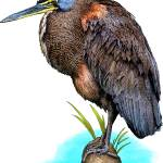 """Bare-Throated Tiger Heron"" by inkart"