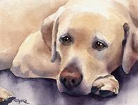 Labrador Retriever 6
