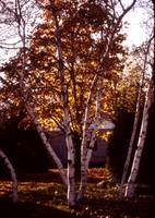 Long Island birches in the fall — 1979