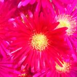 """""""2011 floralphoto daisiespink camproductions"""" by CAMProductions"""