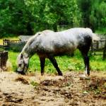 """Appaloosa Eating Hay"" by susansartgallery"