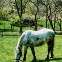 Appaloosa in Pasture Art Prints & Posters by Susan Savad