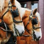 """Clydesdale Closeup"" by susansartgallery"