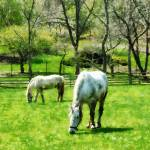 """Two White Horses Grazing"" by susansartgallery"