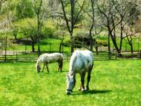Two White Horses Grazing