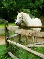 White Horse in Paddock