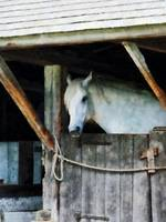 White Horse in Stable