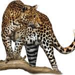 """""""Javan Leopard"""" by inkart"""