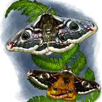 """Emperor Moths"" by inkart"