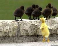 Wait for Me! Says Yellow Duckling