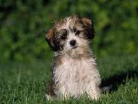 Very Cute Terrier Puppy