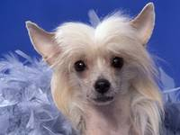 Sweet Face White Chinese Crested Puppy Dog