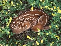 Whitetail Fawn Curls Up And Sleeps In The Forest