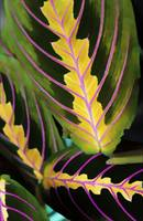 Pink Yellow Green Leaves
