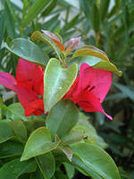 Red Bougainvillea 9