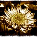 """One Flower in Sepia"" by Groecar"