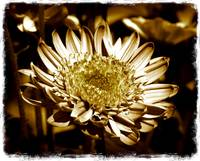 One Flower in Sepia