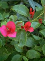 Red Bougainvillea 7