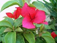 Red Bougainvillea 3