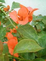 Orange Bougainvillea 3
