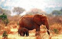 Mama And Baby Elephant Roam The African Plains