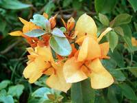 Orange Bougainvillea 2
