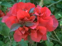 Red Bougainvillea 6