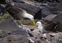 A Pair Of Waved Albatrosses