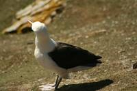 Black Browed Albatross Turns Head Up
