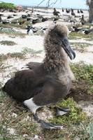 Hybrid Between Black-Footed And Laysan Albatross