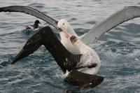 Pitched Battle Between Two Antipodean Albatrosses