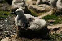 Side View Of Bedded Down Gray Albatross Baby