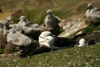 Two Adult Albatrosses With Chicks In Background