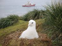Snow White Wandering Albatross Chick Near Ocean