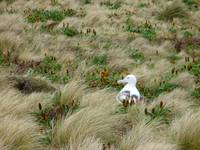 Southern Albatross Sits On Nest In Campbell Island