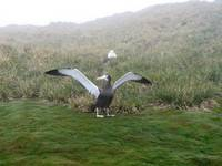 Wandering albatross On Ground With Spread Wings