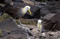 Wave Albatrosses Closely Supervise Chick