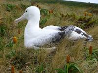 Zoom Photo Of Nesting Albatross