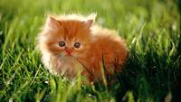 Innocent Orange Kitten In The Green Grass