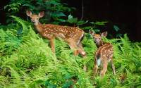 Two White Tailed Baby Fawn Deer Walk In The Forest