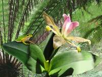 Wild Orchid and Tree Frog