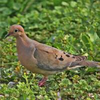 Mourning Dove Art Prints & Posters by Through The Split Window