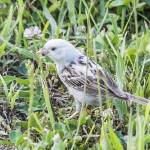 """Leucistic Chipping Sparrow"" by WildAboutNaturePhotography"