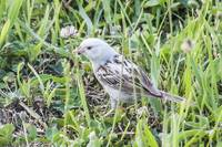 Leucistic Chipping Sparrow