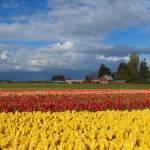 """""""Red Barn Tulip Farm"""" by Dawsonimages"""
