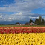 """Red Barn Tulip Farm"" by Dawsonimages"